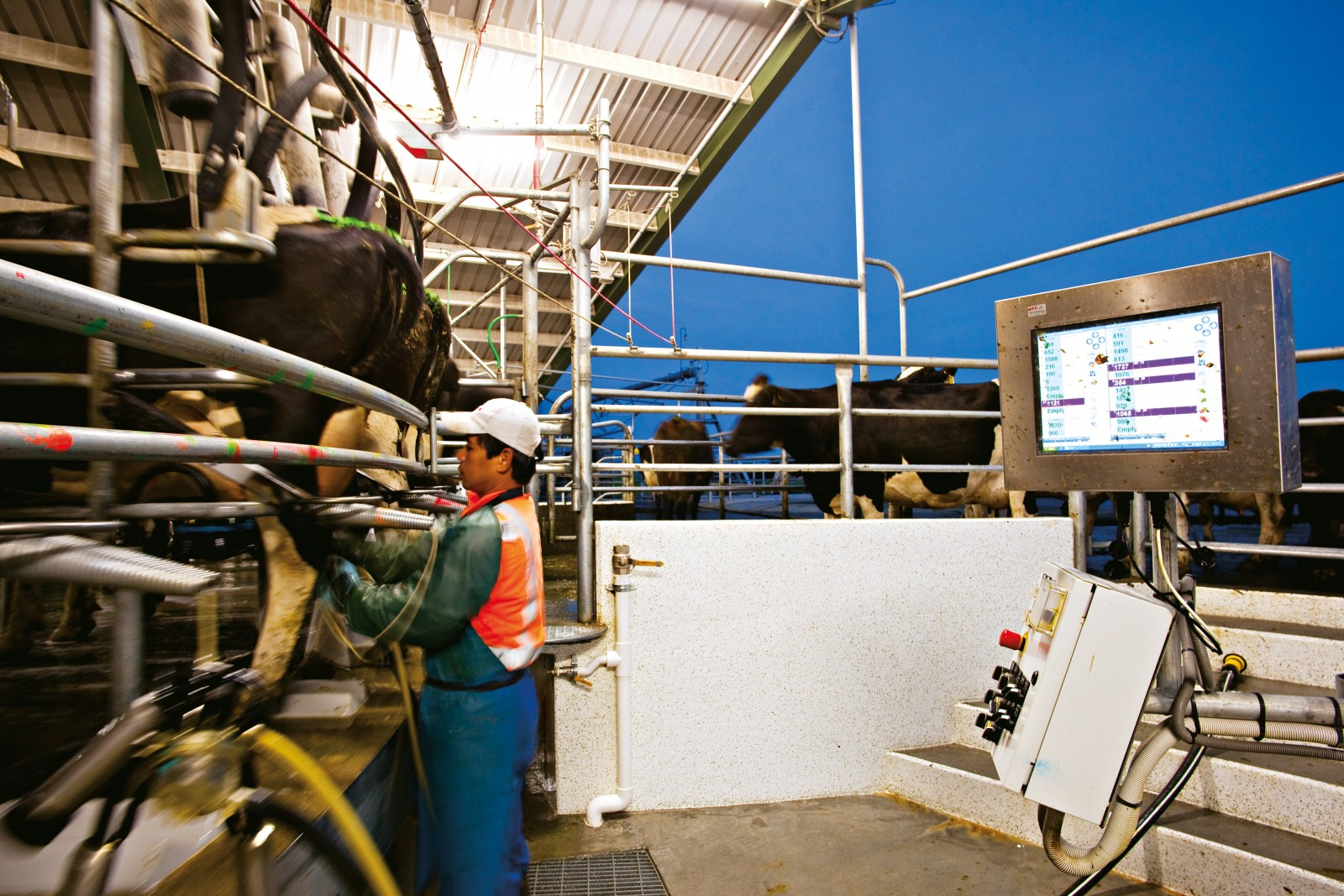 Filipino farm worker Rod Tawapao does the rounds of the rotary milking shed at Johnson's farm in Westerfield. He moved to New Zealand with his wife and two-year-old child chasing the working opportunities offered by Canterbury's white gold. But with the advent of fully automated robotic milking sheds, his job is likely to change rapidly in coming years.
