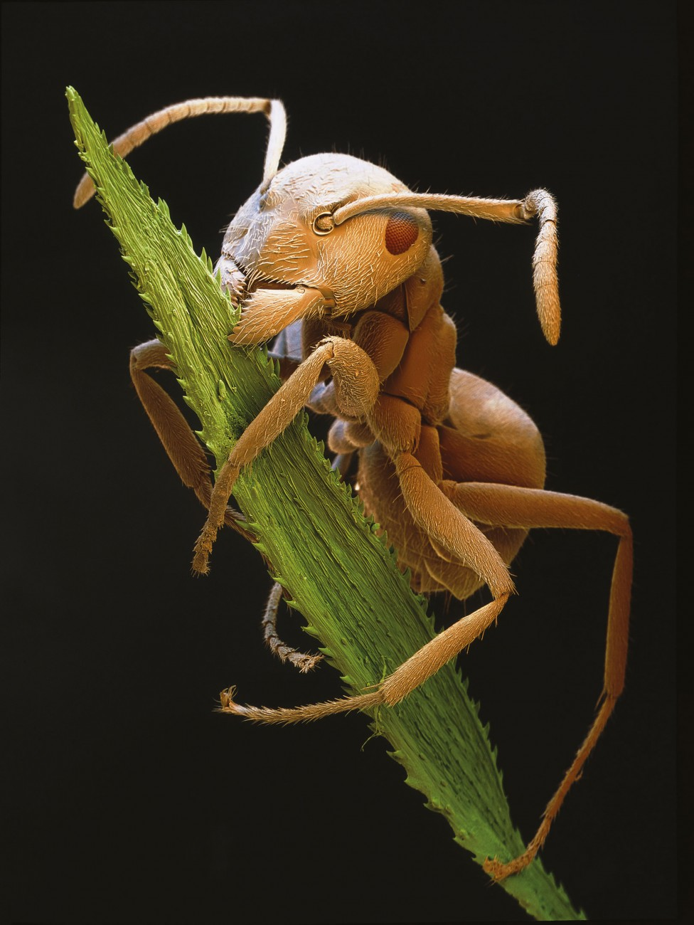 "One of the most mind-addling manipulators is the lancet fluke Dicrocoelium lanceolatum, which forces its ant host to climb to the top of a grass blade and wait patiently to be eaten by a grazing sheep or cow, the fluke's final host. Although ants ingest several hundred cercariae in one go, only one of these lodges in the ant's ganglion to become an active brainwasher, sending chemical signals that will send it to certain death and its brethren to a new home. This ""brainworm"" loses its ability to sexually reproduce, effectively sacrificing itself for the greater good of its cercarial siblings."