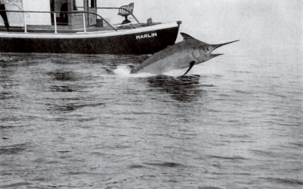 The end nears for Captain Mitchell's world-record black marlin (below) after a battle that took him and the launch Marlin 10 miles out to sea. Like all billfish caught in the early years, the catch was weighed and then dumped.