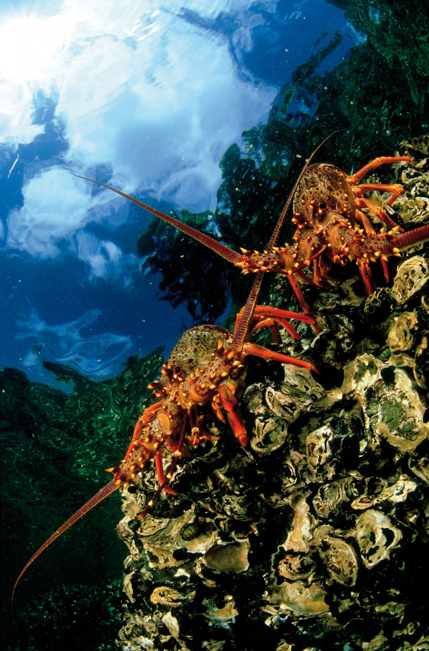 Spiny lobsters cling to the rocky walls and crevices typifying New Zealand's coastline. But unlike true lobsters, they do not have claws and are often referred to as crayfish, a term reserved elsewhere for freshwater species.