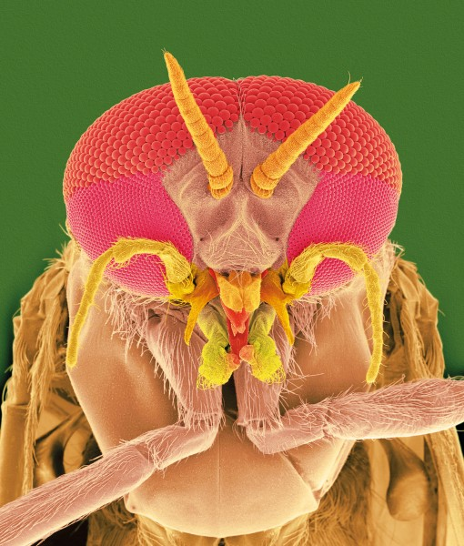 The eyes have it! Unlike their female counterparts, male sandflies have two distinct eye facet sizes. This may help them better spot potential mates while in flight.