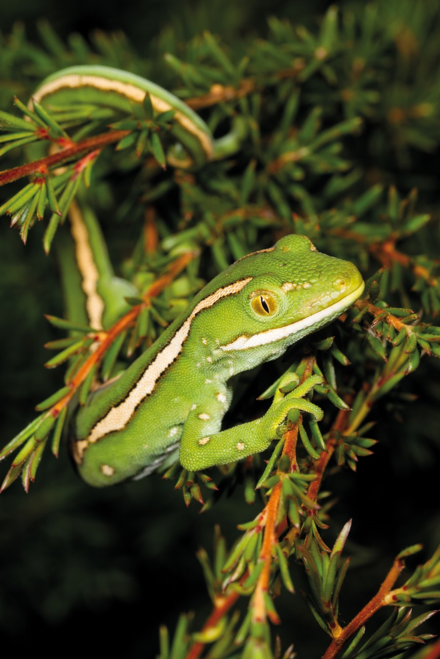 Nutrients absorbed from trapped insects supplement the meagre resources of severely depleted gumland soils. Weeds and fire threaten endemics like manuka-rauriki (Kunzea ericoides var. linearis) and the unnamed North Cape green gecko that live among its branches.