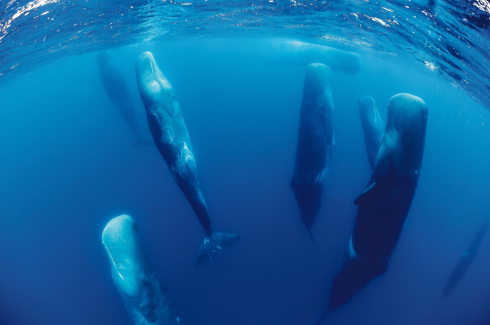 Sperm whales often rest in an upright position, and in close proximity to each other. Clustering may function as a defence against surprise attacks by predators, but it is just as likely to be a way of reinforcing group bonds and maintaining 'social capital'. magnus lundgren/nature picture library