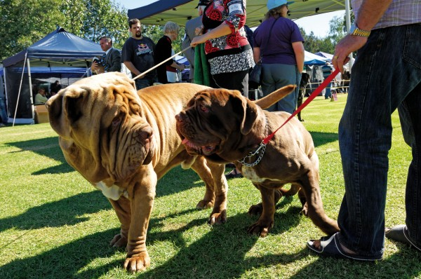 New Zealand Champion Ciccalone Leonidas, aka Leo the Neo (left) checks out Christchurch pup Andromeda at the Auckland Kennel Council's Easter Championship Show. The mighty 90 kg Neapolitan Mastiff has won Best of Breed at the last two New Zealand Nationals.