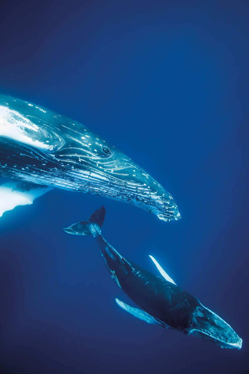 119_Humpback_BodyImage_01