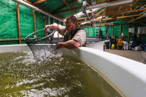 Ranger Steve Dickson transfers trout hatchlings to a bigger pool at the world's only hatchery operating out of an active mine site. Jointly run by Oceana Gold and New Zealand Fish & Game, the Macraes hatchery produces 10–12,000 rainbow trout annually for release around the South Island.