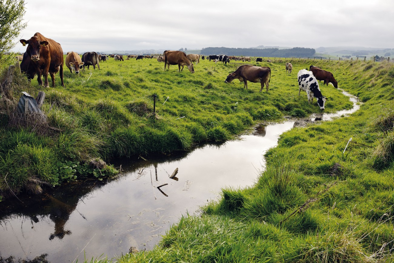 Since 2007, the national dairy herd has swollen by another million animals to more than six million. Each cow produces around 23 litres of urine a day, soaking the rural landscape in nitrogen and phosphorus; natural fertilisers that go on boosting plant growth even after they've leached into the nearest waterway. Such uncurbed nutrient loads can spur algal growth to a plague, robbing so much oxygen from the waters that aquatic creatures suffocate. In Canterbury, nitrate loads are burgeoning in drinking groundwater where, the region's Medical Officer of Health, Alistair Humphrey warned last year, they pose a threat to infant health.