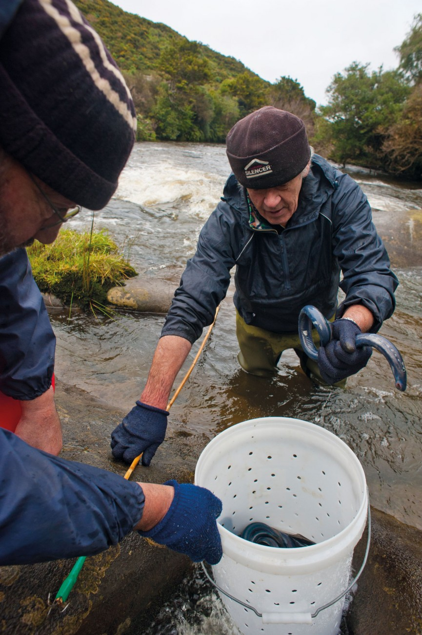 Migratory lamprey—kanakana or piharau—are are an important customary fishery for Maori. On the Waikawa River, kaumatua and customary 'monitors' Duncan Ryan and Keith Bradshaw, collect samples of adults, to check for 'lamprey reddening syndrome'.