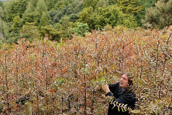 Logging protestor, nurseryman and tree planter Stephen King tends kauri saplings in a nursery on the edge of Waipoua Forest, in Northland. Waipoua—a refuge of giant kauri up to 2000 years old—was protected as a sanctuary in 1952 after a hard-fought public battle. King co-founded the community-based Waipoua Forest Trust in 1999 to help restore areas around the sanctuary and safeguard its vital watersheds.