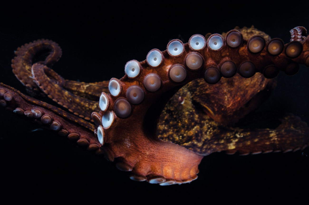 Getting a grip. A common octopus has more than 200 suckers on each arm, and scientists have calculated that breaking their combined hold would need a force of more than 225 kilograms. Because each arm effectively has its own 'brain', it can perform tasks independently of the others.