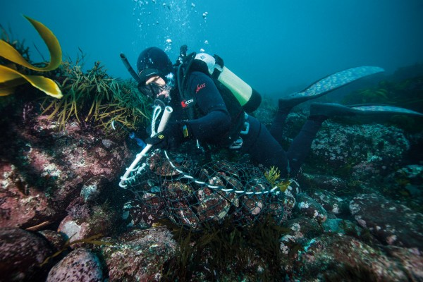 Floyd Prendeville levers paua off a well-stocked reef on the southern coast of Chatham Island. In 2013, new regulations allowed Chatham Islands commercial divers to use underwater breathing apparatus such as scuba (elsewhere banned) for collecting paua and kina. Some have criticised the change, saying it allows divers to harvest beds that were previously beyond diving range, and thus served as population backstops.