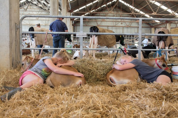 Twins Danielle and Rebecca Rose rest with their twin jersey calves Skittles and M&Ms after a long day at the Wairarapa A&P show.Preparation for show day often starts at six in the morning, when animals are rounded up, loaded into trailers, transported to the show and given a final shampoo, ear clean and hoof scrub before competition begins.