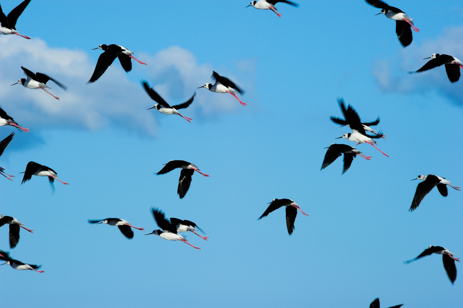 A flock of pied stilts wing their way across the skies above the coast near Pūkorokoro/Miranda on the shores of the Firth of Thames. Tens of thousands of wading birds make the firth their home, with large numbers of Arctic breeding species, including bar-tailed godwits, red knots and smaller numbers of eastern curlew and sharp-tailed sandpipers migrating to the intertidal mudflats each summer to fatten up on crustaceans.