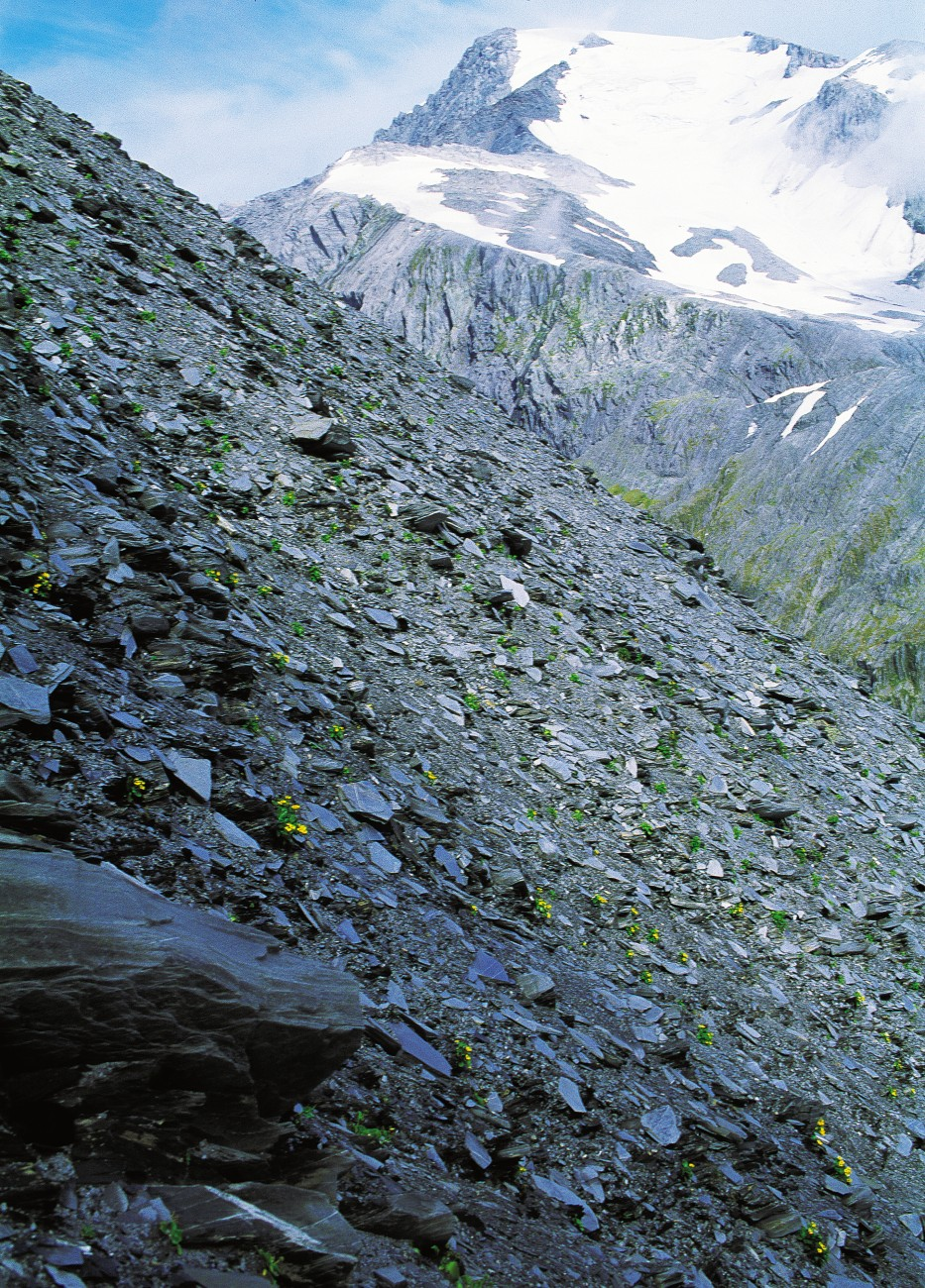 The rock fragments on scree slopes such as this one in the Waitaha Valley tend to lie in a layer only 20 cm thick, and beneath that is gritty soil. Specialised plants such as the yellow-flowered Ranunculus godleyanus anchor themselves with large arrays of roots and stems trailing on their uphill side as they wrestle with gravity. This handsome buttercup is found only between Arthur's Pass and Mt Cook at altitudes of 1200 to 2100 m.