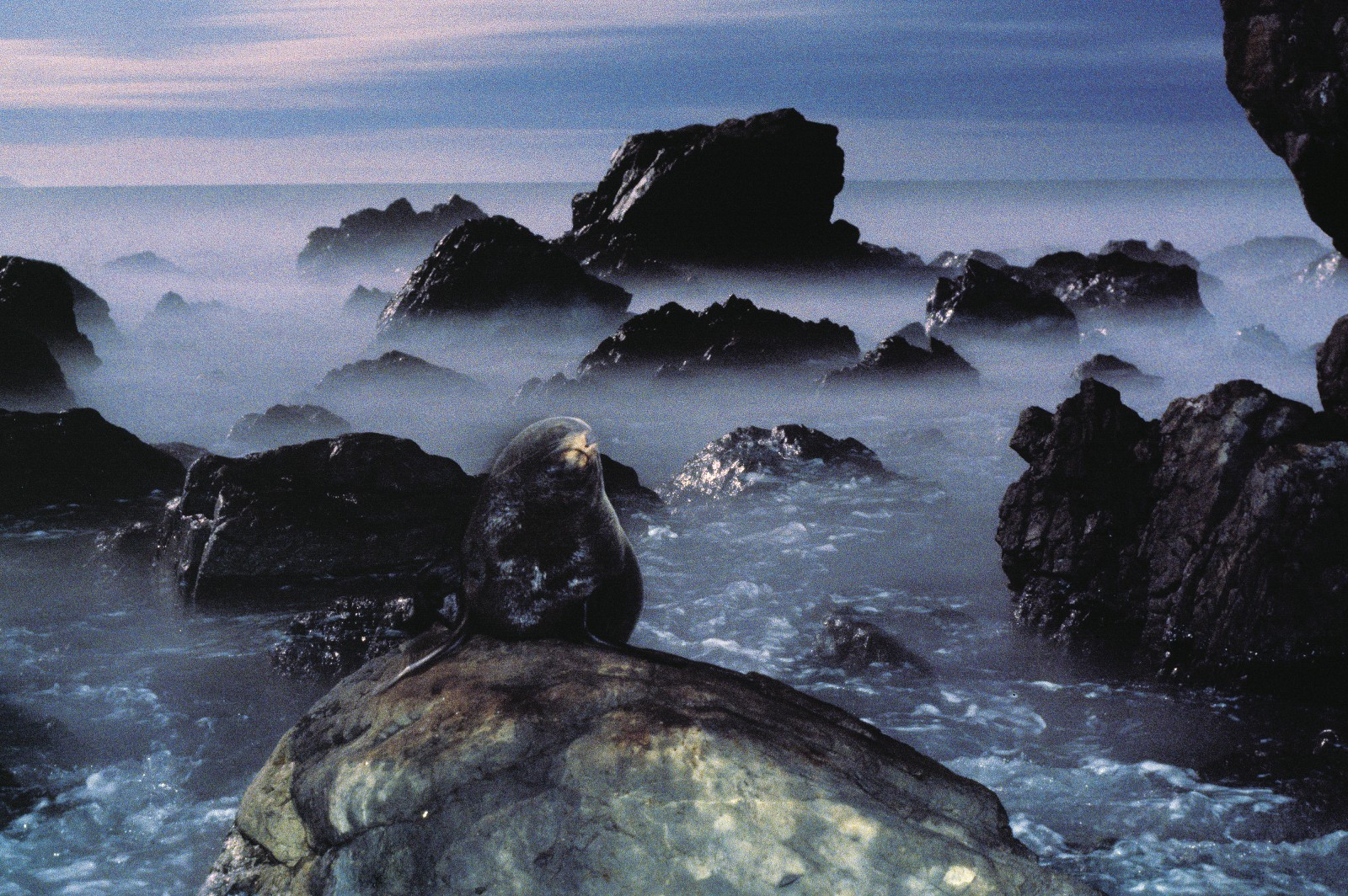 "This fur seal at Cape Turakirae, near Wellington, appears to be hewn from the same stuff as the boulder it rest upon. Although fur seals sometimes look ungainly ashore, their front and hind flippers are able to rotate forwards (unlike those of ""true"" seals such as elephant seals, leopards seals and the like) and are strong enough to enable males to gallop at up to 20 km/h."