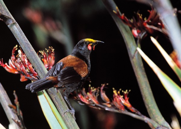 "In 1869, saddleback, or tieke, were described as ""very common"" on Little Barrier, but by 1882 they had all but to have accounted for the demise of the birds, which like to roost on or near the ground. Once cats were eliminated in 1980 (the culmination of a battle that started seriously in 1968), the island was declared ""safe,"" and saddlebacks were reintroduced from Cuvier Island in 1984. They have since thrived. The bird pictured above has acquired a flax-pollen ""bonnet."""