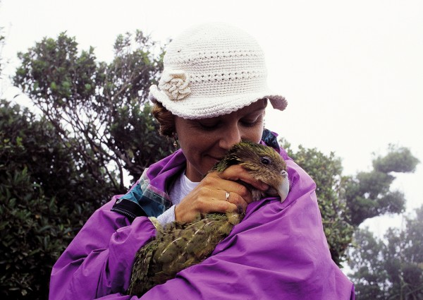 Three kakapo were taken to Little Barrier in 1903 but quickly fell prey to cats. Twenty-two more were flown there in the winter of 1982 from Stewart and Maud Islands, when cats and stoats threatened those populations, but over the next seven years they failed to breed. Supplementary feeding was tried but failed to improve chick production. In the late 1990s all kakapo were transferred from Little Barrier to Codfish Island, where the gentler terrain is better suited to intense management of the species. Here a minor operation is carried out in one of Hauturu's huts (above), and the patient is given a final cuddle before release.
