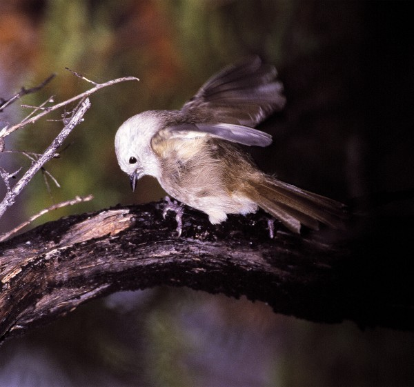 The whitehead, or popokatea, is the commonest bush bird on Little Barrier, occurring from sea level right up to the summits. Little Barrier is the only location these birds still occur naturally north of Te Aroha.