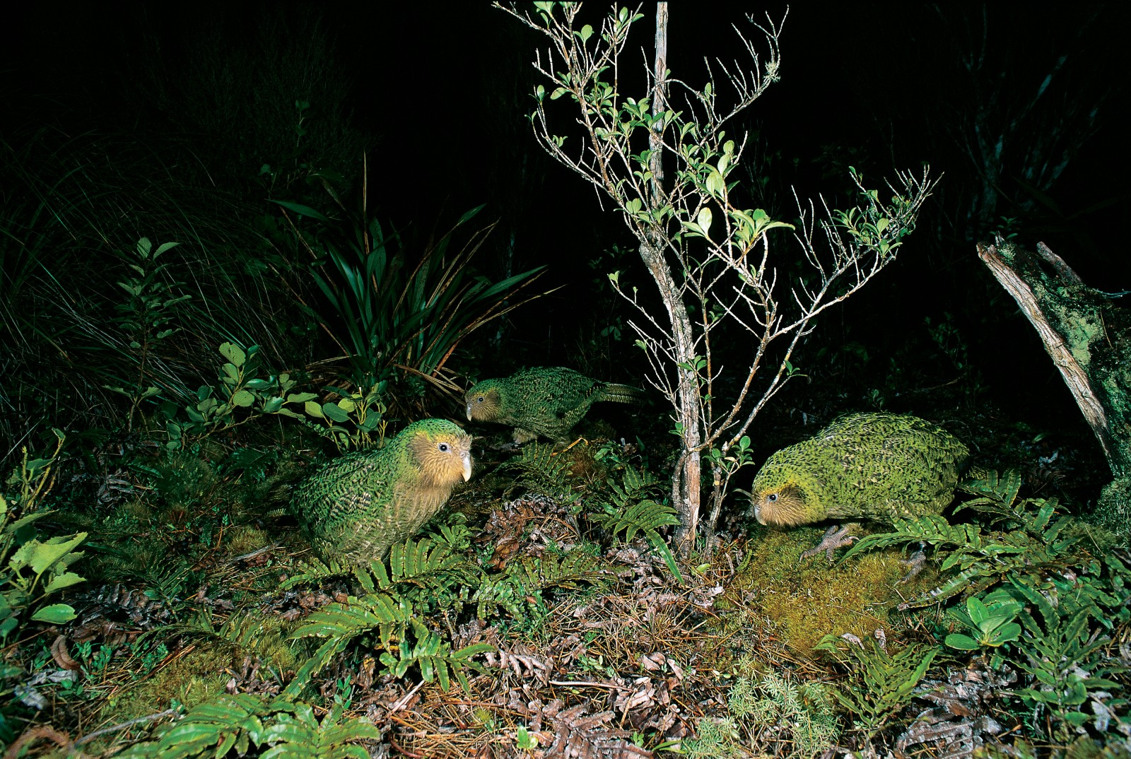 Lisa, a precious female, was lost for 13 years on Hauturu/Little Barrier Island. When found in 1999 she was sitting on three eggs, which were taken to DoC's rearing unit at Burwood Bush, near Te Anau, for final incubation and hand-rearing. Three females-Ellie, Aranga and Hauturu-resulted, seen here as fledglings on Whenua Hou/Codfish Island at five months of age. The unexpected addition of four females to the population gave the programme to save the kakapo a tremendous boost at a time when females were in short supply.
