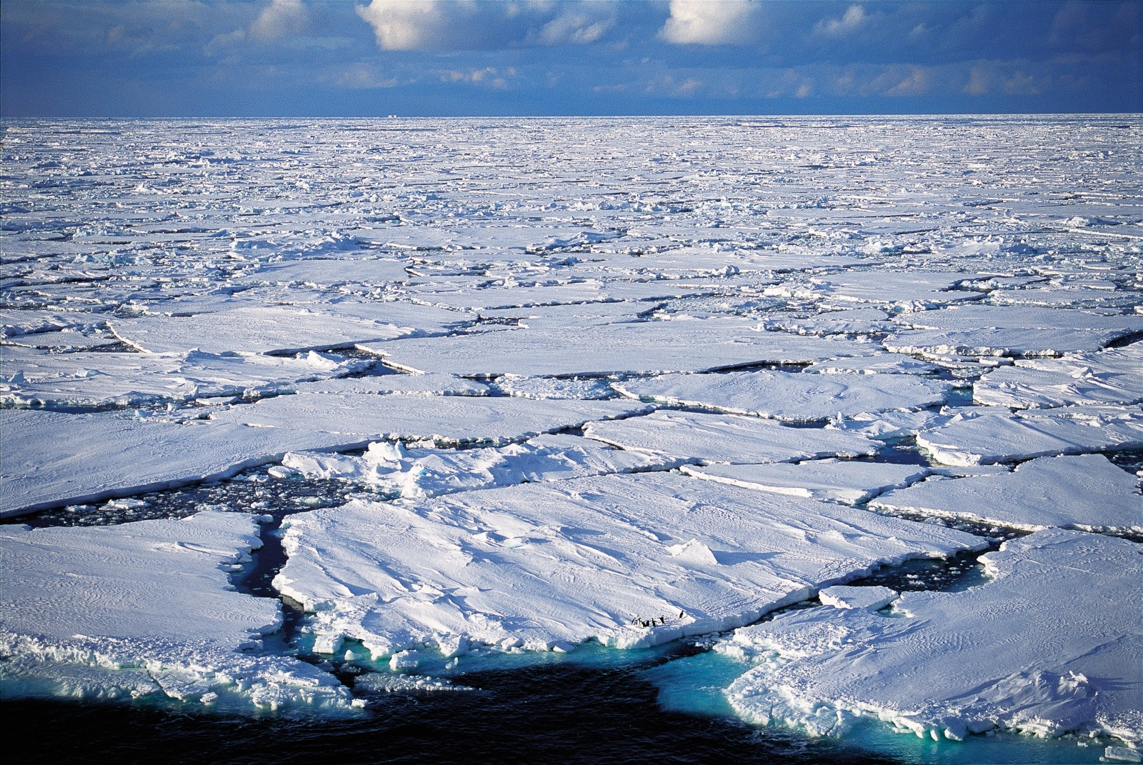 Sea ice is the Adèlie's home turf. The birds hunt in the cracks and hop on to the floes to rest or evade predators. Early in the breeding season, the journey from rookery to sea can be amazingly far. Females heading for the feeding grounds after laying their eggs have been radio-tracked walking across 250 to 350 km of fast ice and pack ice, covering the distance at an average speed of 2.4 km/h Their mates, on incubation duty, must withstand whatever nature throws at them, including being snowed in.