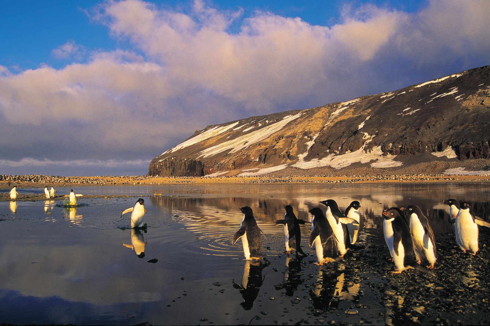 Stubby penguin legs get plenty of use during the breeding season as the birds waddle across shore and ice to reach the seas where they feed. Here, at Cape Adore, they negotiate a pond created by melting ice.