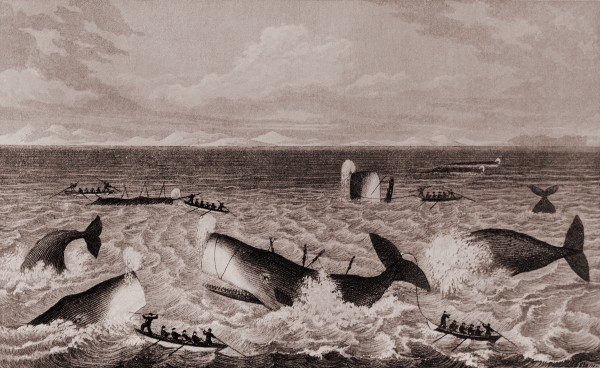 "The first whales to be exploited in local waters were sperm whales to the north of New Zealand, a ""fi shery"" depicted by settler Joel Polack in a book of his travels published in 1838. Ships working this ground were responsible for the establishment of Kororareka (now Russell) as a port."