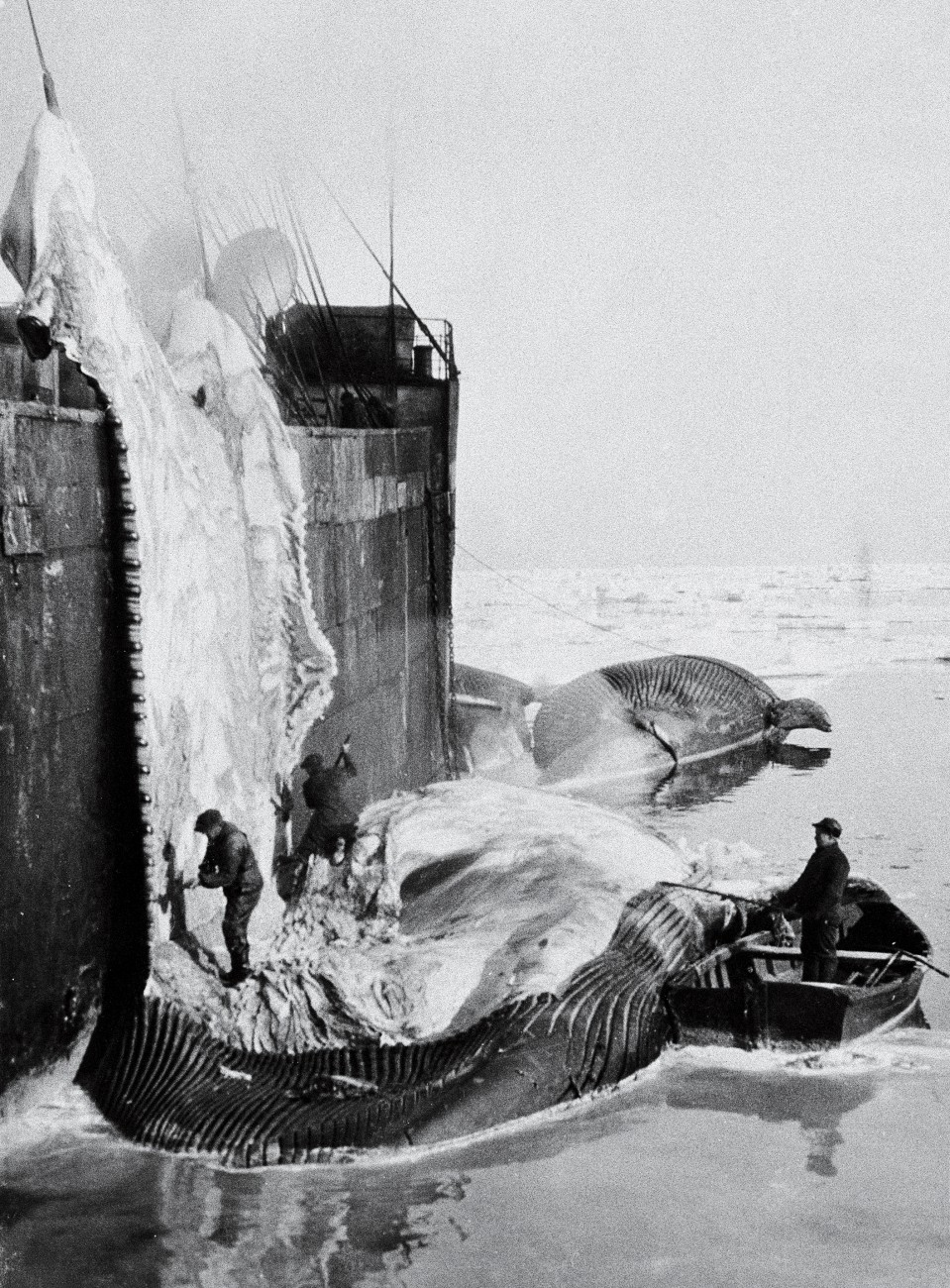 Aboard the Norwegian factory ship Sir James Clark Ross, which operated in the Ross Sea, Antarctica, each summer from 1923 to 1930, there was no slipway up which to drag whales, so they were flensed alongside, the blubber being torn off by winches.