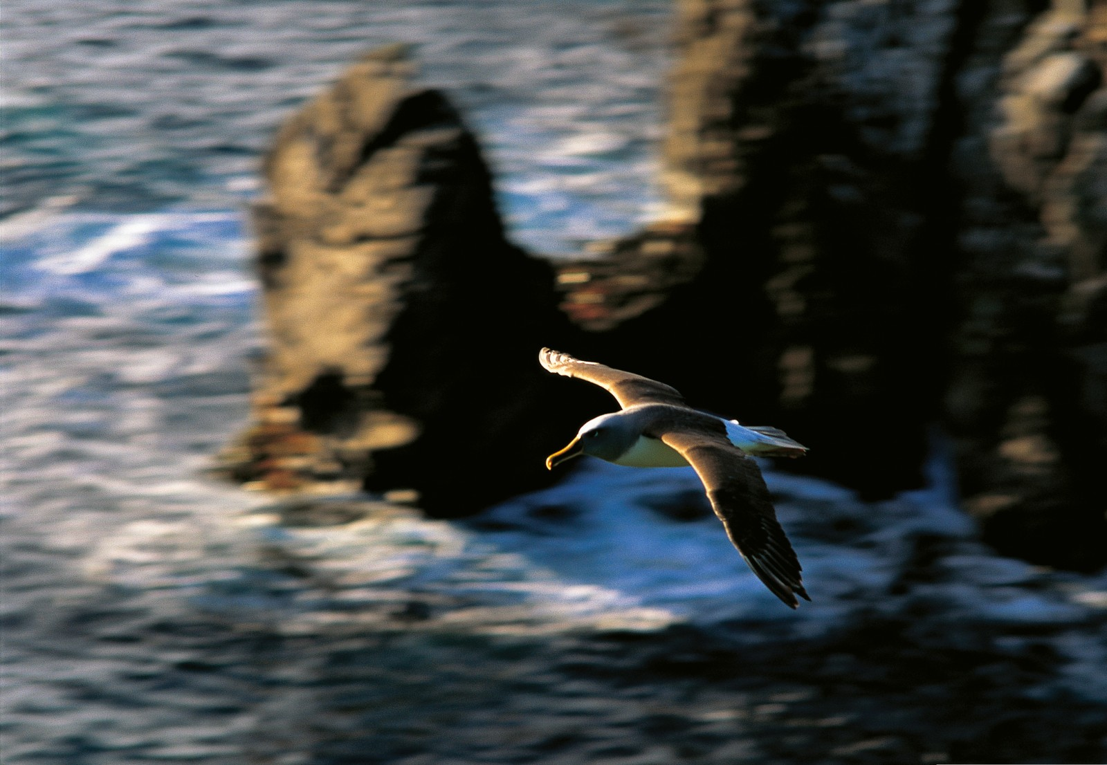 Southern Buller's albatrosses are consummate aeronauts, capable of flying at speeds approaching 100 km/h (given a strong tail wind) and covering thousands of kilometres in a single trip. One bird, tracked flying from New Zealand to Chile, covered the distance of around 10,000 km in 10 days. The wings, which span up to 2.2 metres, are surprisingly delicate, hence the danger posed by fishing vessels. If an albatross flies into a trawl wire at speed, it will almost certainly break a wing bone and crash into the sea.