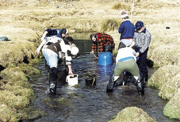 """Another group """"plants"""" ova in the gravel of a suitable tributary of the Waiau River, in North Canterbury."""