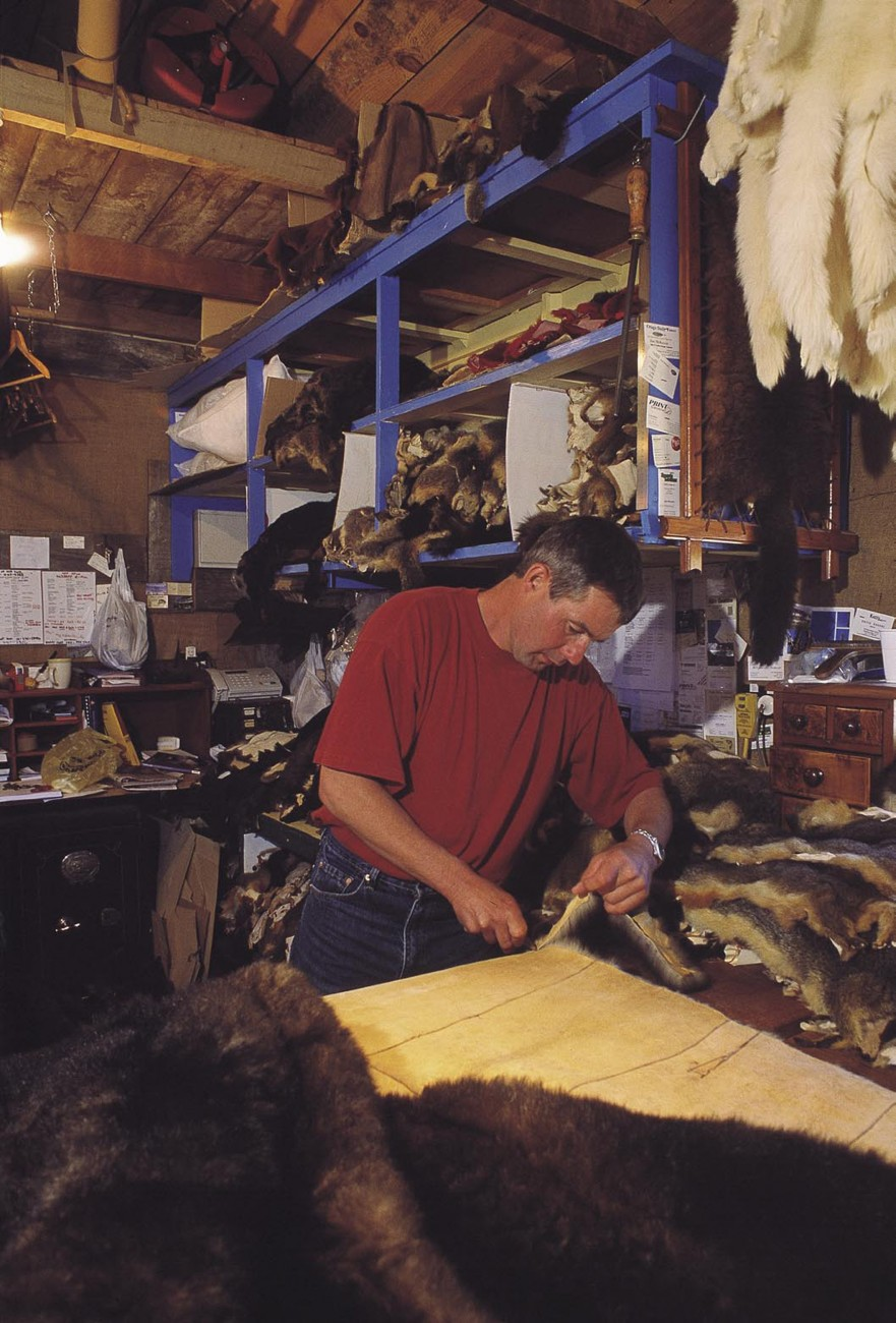 "Possum fur's renewed fashion-ability has led to a business boom for fur designers. Most stress the positive environmental impact of using possum fur. ""Buy a possum, save a tree"" is the slogan used by Thor Davis, owner of Glenorchy Fur Products (opposite). One of his king-sized bed throws, which sell for $2500, uses between 50 and 60 possum skins, ranging from bleached champagne (top right of photo) to black, and the company goes through more than 14,000 pelts a year. ""Only 50 per cent of possums killed are worth skinning,"" says Davis, ""so that's 28,000 possums eradicated in order to meet the demand."""