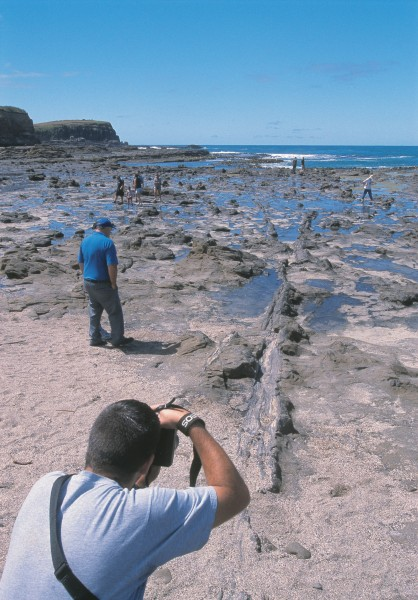 Fossils attract the ecurious to Curio Bay, where a 160 million-year-old Jurassic forest lies petrified in the rocks. At nearby Slope Point, fossilised tree-fern nodules can be found. Further north, around Nugget Point, there are 250-million-year-old beds of nautilus-like ammonites and other shellfish, while at Papatowai, an old Maori camp site has yielded dozens of moa bones as well as remains from endemic geese and swans hunted to extinction in the past 1000 years.