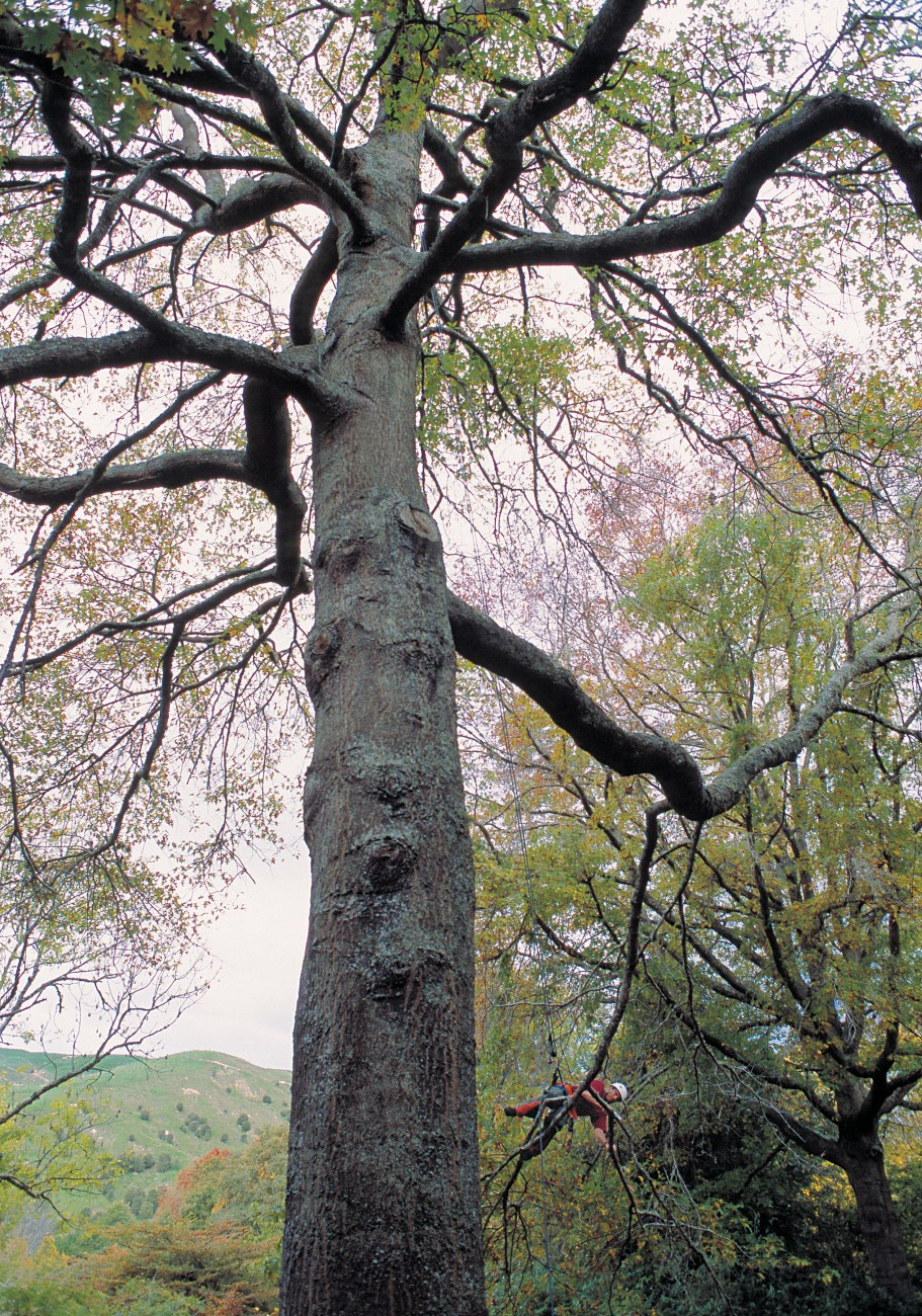 Eastwoodhill's curator, Paul Wynen (pruning a difficult branch on a pin oak), says cicadas are the arboretum's worst pest.
