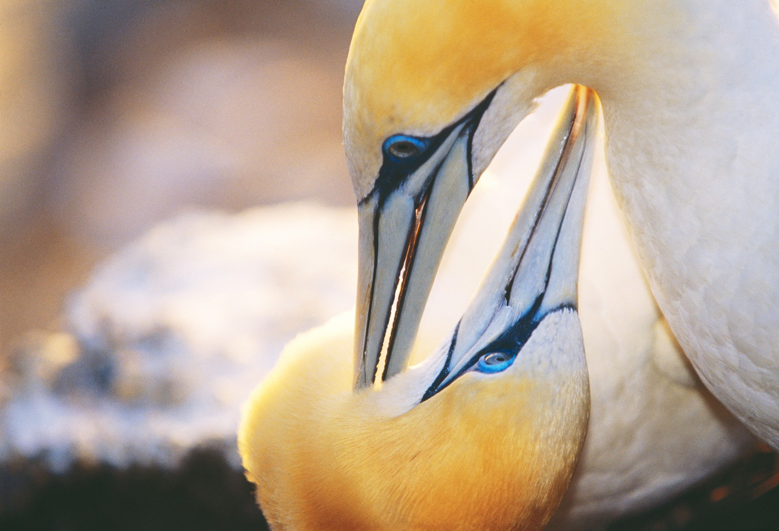 Gannets are thought to mate for life, but distinctive courtship displays and periods of mutual preening are regularly used to reinforce the pair bonds.