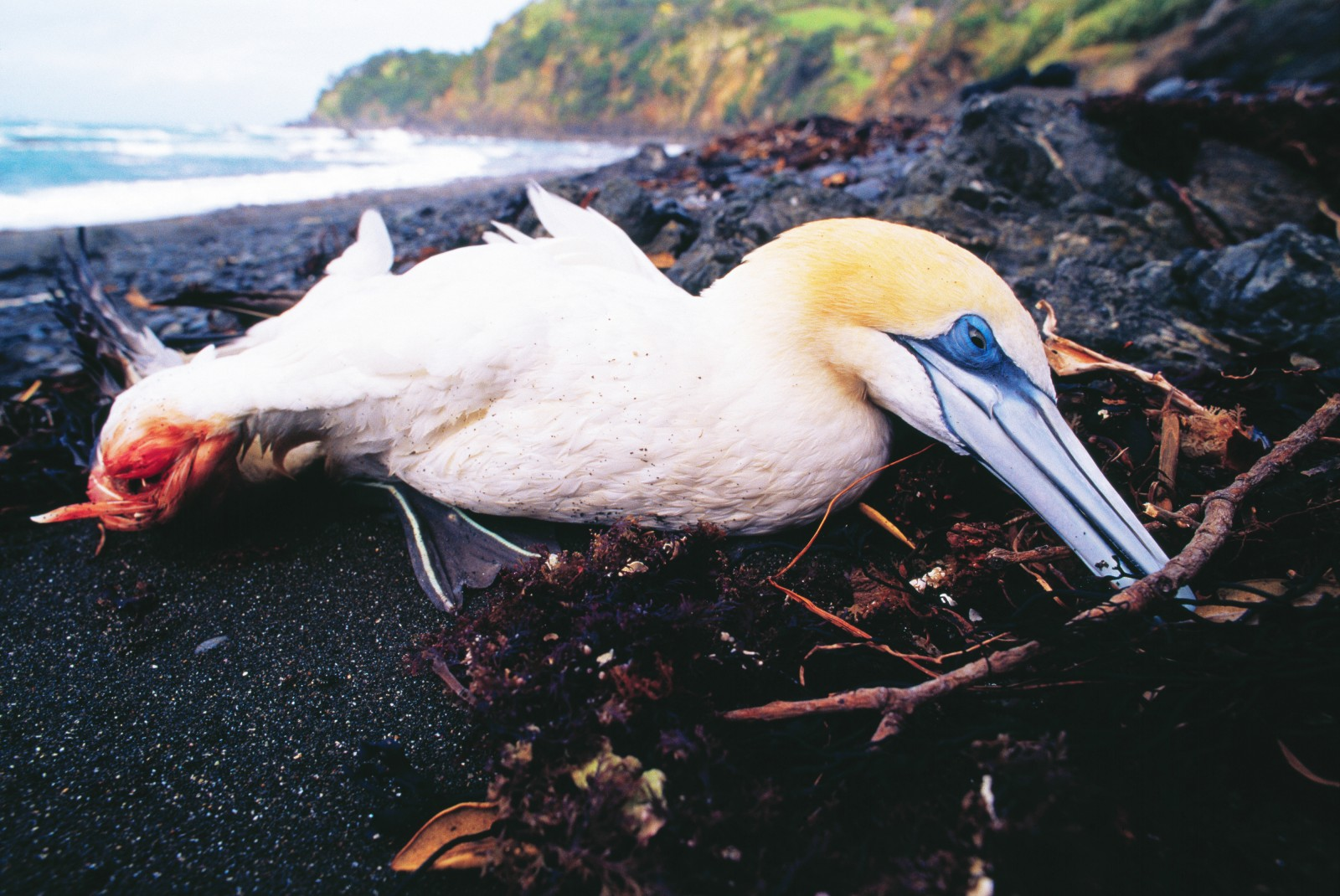 The main wing bone has snapped in this unfortunate bird, dying on an east coast beach after taking a battering from a storm. Another day and it will be reduced to a nondescript corpse for seagulls to scavenge. Despite living in an environment always devoid of shelter, gannets are thought to be long-lived, capable of surviving for 20 or 30 years.