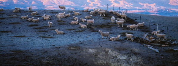 The Maniototo experiences frosts on almost half the days of the year, limiting growing season for both pasture and trees. Dark patches on the ground show where sheep spent the night and frost didn't form.