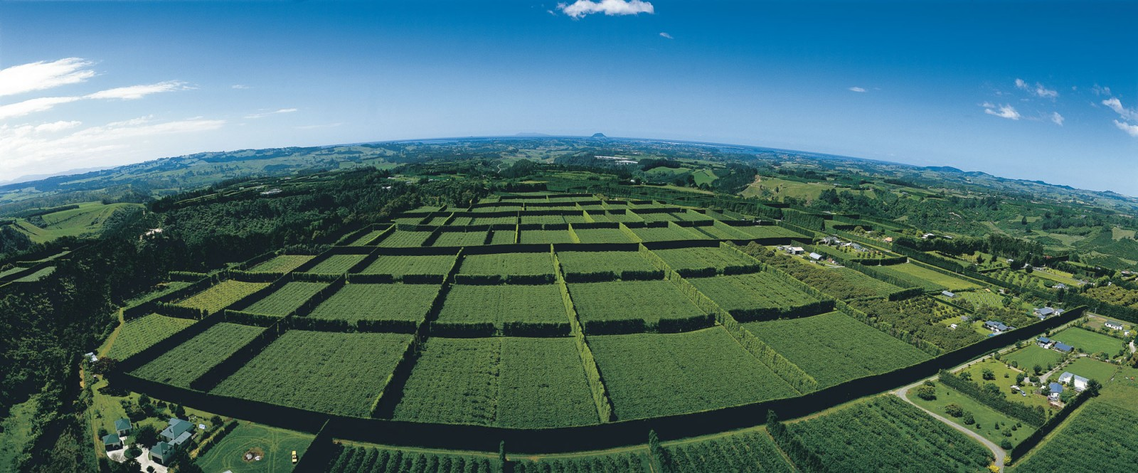 About 6600 ha of the Bay of Plenty looks like this—a green pigeonhole landscape protected by the narrow high shelter belts that characterise kiwifruit orchards. The narrowness is to maximise the area fruit can grow on—a consideration when orchards sell for $250,000–$450,000 per ha. Orchards producing the newer gold fruit fetch higher prices because the fruit sells for more than the green.