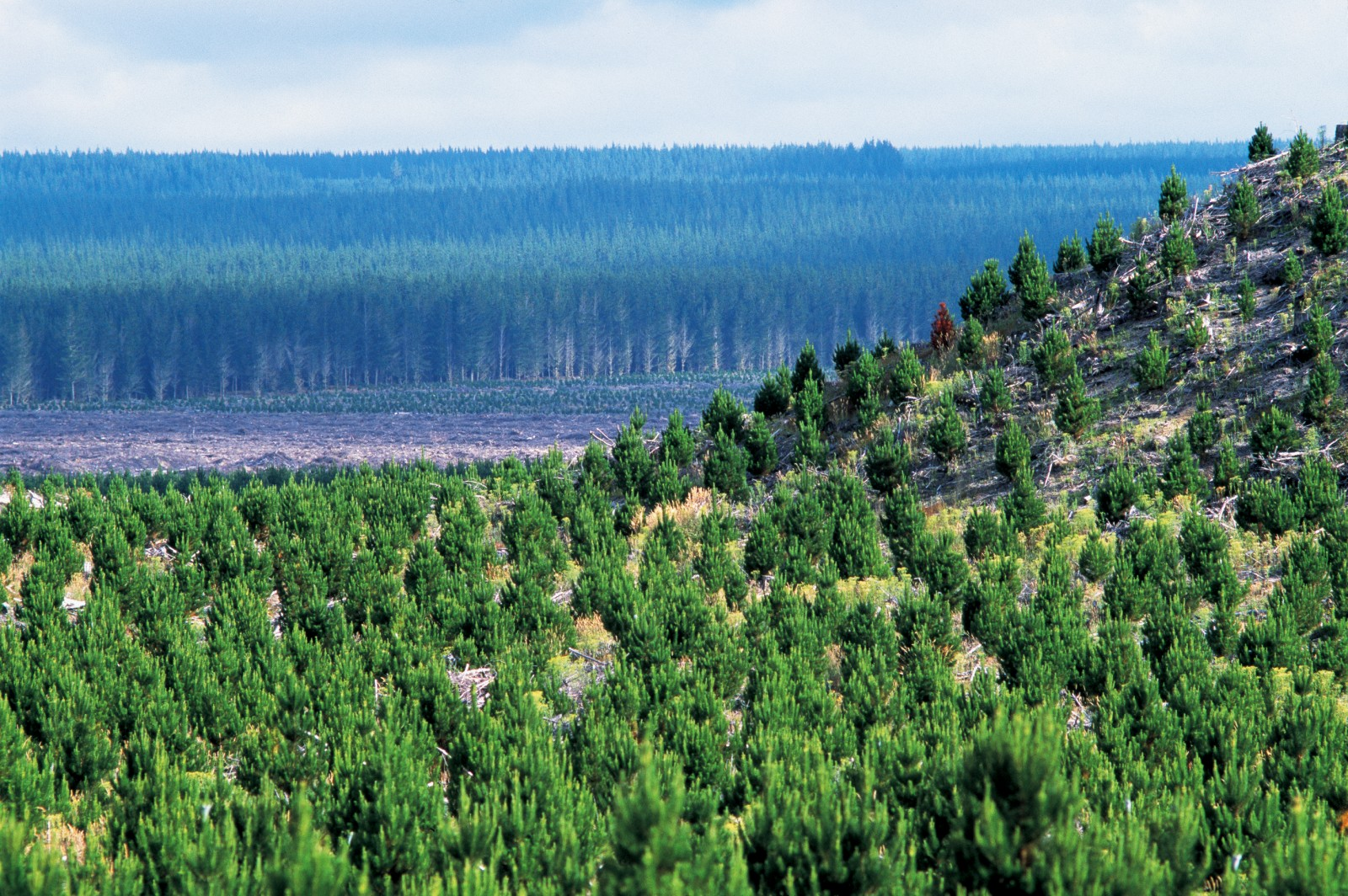 About a quarter of New Zealand's forests consist of exotic plantations, 90 per cent of them radiata pine. On the pumice lands of the central volcanic plateau, Kaingaroa Forest (seen here) covers hundreds of kilometres--a vast resource for the myriad native plants and animals that have taken up residence within it.