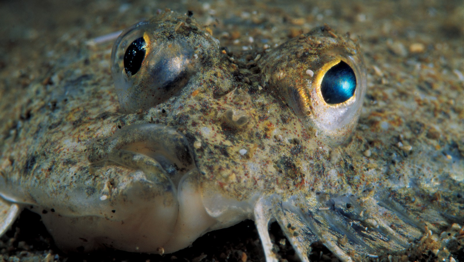 Flounder lie buried in surface sand, lying in wait to gobble crabs and small fish that wander too close to their snouts.