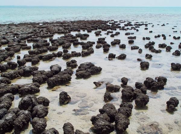Shark Bay in Western Australia is one of only two locations where living stromatolites can still be found. Accumulating sediment and the remains of their predecessors, these primitive organisms build up structures that can reach 1.5 m tall, with population densities of 3,000,000,000 individiuals per m². It takes roughly 2000 years to produce a metre-high stromatolite.