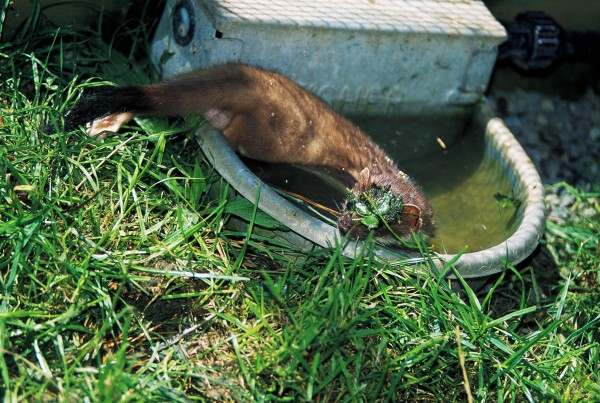 Water is no great deterrent to a stoat, and it will swim a kilometre or two to reach an island or peninsula.