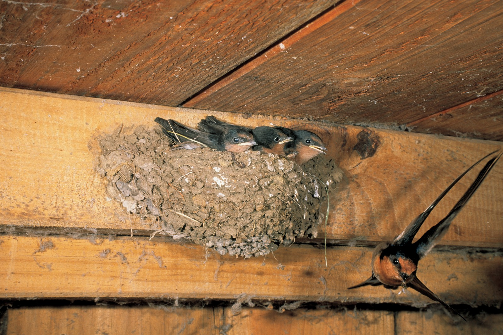 A manoeuvrable swallow bearing an insect delicacy for its hungry offspring swoops towards its nest which is tucked up against the roof of a domestic garage. The first birds of this self-introduced species bred in Northland in 1958, and within 10 years they had become well-established through much of the country. Swallow nests are quite distinctive and the birds typically raise three broods between August and February.