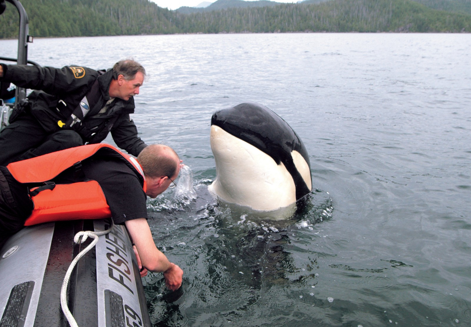 Luna, a six-year-old orca in British Columbia, lives apart from the other orca and seeks out people for company. Here he is spyhopping next to a Canadian fisheries boat.