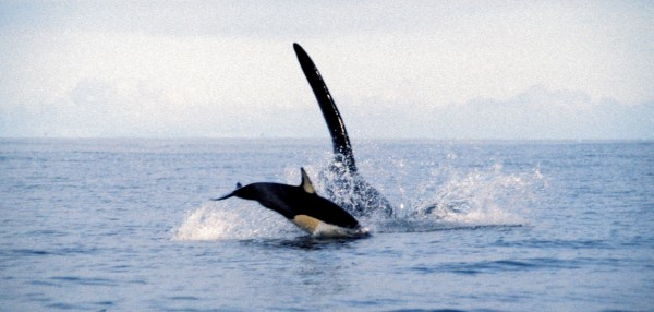 An adult male orca, coming towards the camera, chases a common dolphin. Although this individual escaped, New Zealand orca are partial to the odd dolphin.