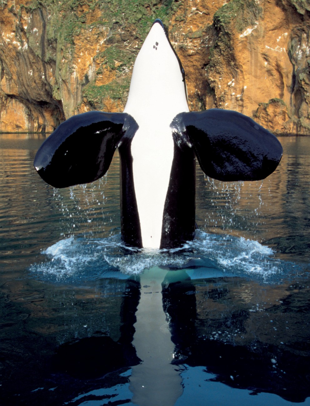 Although the release of Keiko, the star of the movie Free Willy was not a total success, the information gained from the attempt may help the rehabilitation of other captive orca released back into the wild. Here Keiko is spyhopping in Iceland, showing the extremely large pectoral fins adult male orca possess.