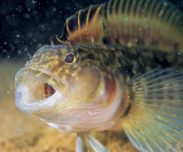 The estuarine triplefin is the only species worldwide to be found in brackish water.