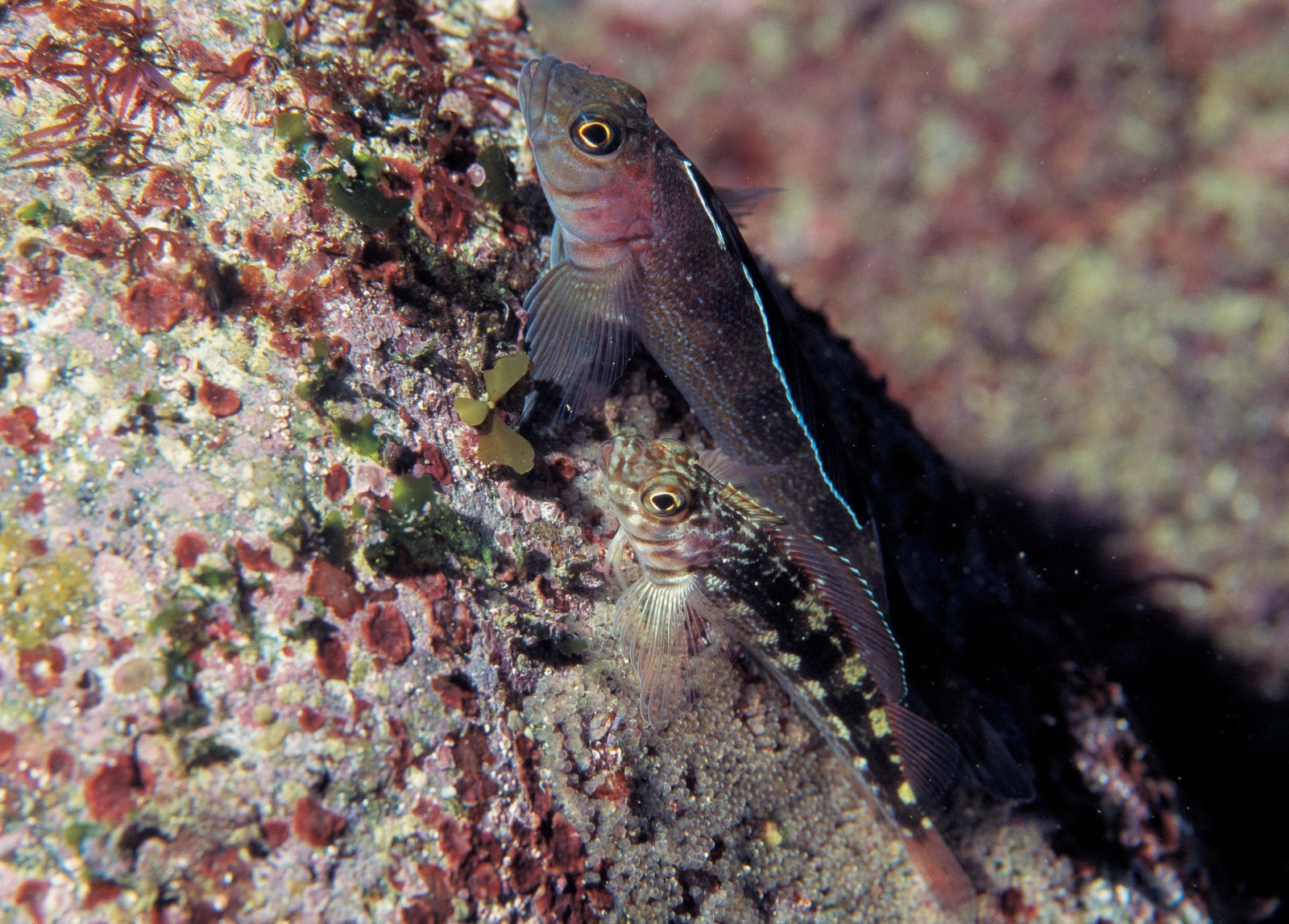 """Male triplefins fertilise eggs as they are laid and, in most species, then guard a """"nest"""" in which several females have deposited eggs. Eggs are clearly visible in this photo of variable triplefins at Great Barrier Island."""