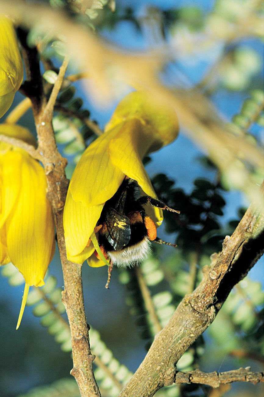 t's not only people who enjoy the kowhai's flowers. While birds are considered to be the main pollinators of kowhai, bees can obviously do the job also.