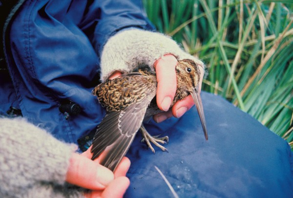The first Campbell Island snipe was this specimen caught on Jacquemart Island in 1997.