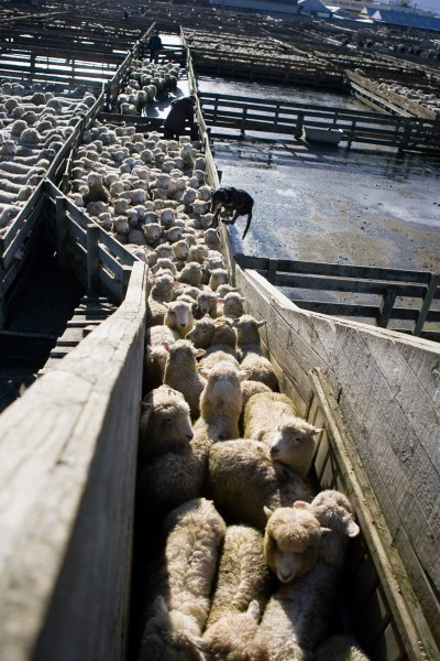 At the end of the sale, urged on by man and dog, sheep climb a loading race into another truck for the journey to a new home.