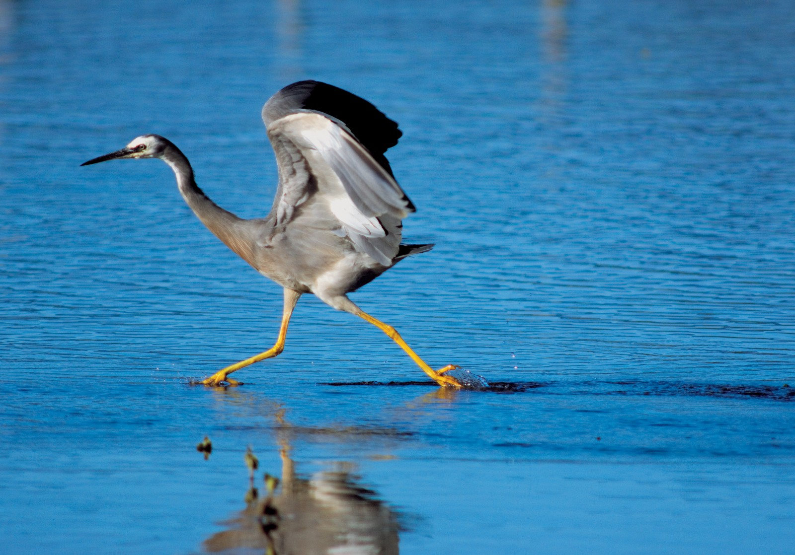 White-faced herons—a species that self-introduced and has only become common in New Zealand over the last 60 years—feed on small fish which they usually catch by stealthy waiting followed by a sharp lunge with the bill.